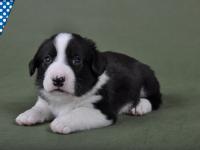 Мальчик Триколор - 3,5 недели