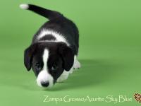 Zampa Grosso Azurite Sky Blue - 6 недель