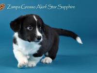 Zampa Grosso Akinf Star Sapphire - 6 недель