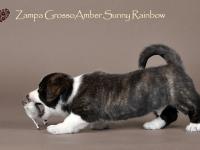 Zampa Grosso Amber Sunny Rainbow - 6 недель