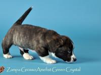 Zampa Grosso Amefist Green Crystal - 6 недель