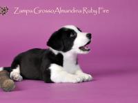 Zampa Grosso Almandina Ruby Fire - 6 недель
