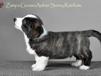 Zampa Grosso Amber Sunny Rainbow - 7 недель