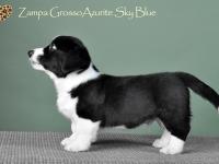 Zampa Grosso Azurite Sky Blue - 7 недель