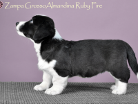 Zampa Grosso Almandina Ruby Fire - 7 недель