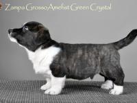 Zampa Grosso Amefist Green Crystal - 7 недель
