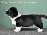 Zampa Grosso Akinf Star Sapphire - 7 недель